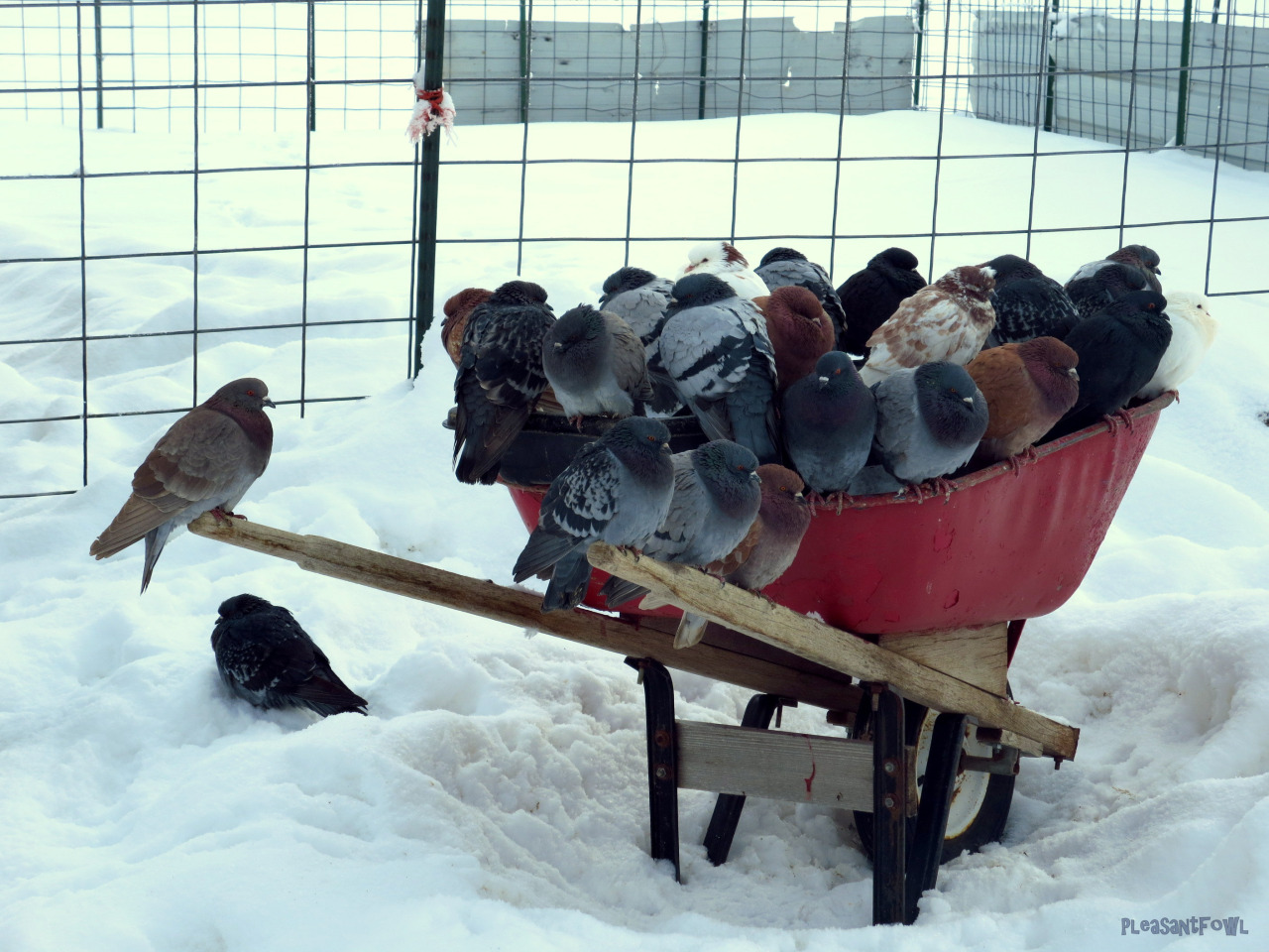 just dove things putinlands Respekt Karre Floofs waiting to be fed in their wheelbarrow pigeons trumpsland