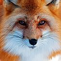 2016/10/lowbird-pcwallart-red-fox-face-wallpaper-1