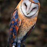 2017/11/deviantart-heart-shaped-face-barn-owl-by-benheine-d74yvfw